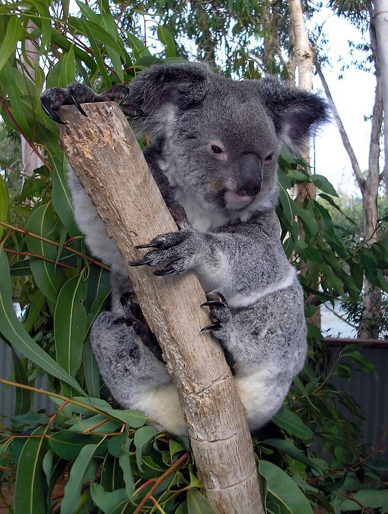 Aussie Icon by xshadowxv
