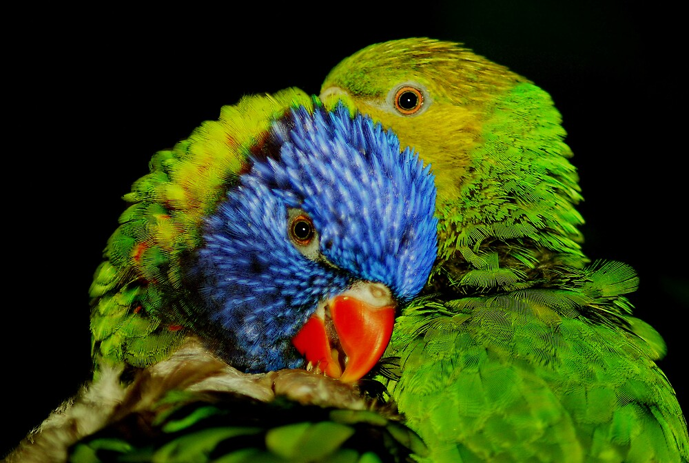 Pruning Lorikeets by Adrian Richardson