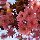 Cherry Blossom by lucindaD