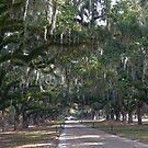Boone Hall Plantation Live Oak Corridor by Catherine Sherman