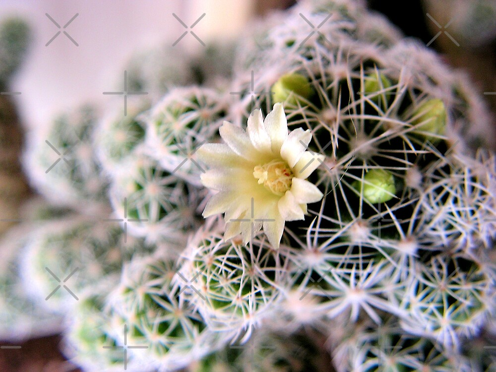 White cactus flower by queensoft