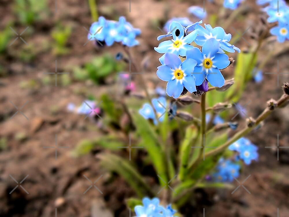 Small blue flowers by queensoft