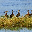 A flock of white -faced whistling ducks by Anthony Goldman