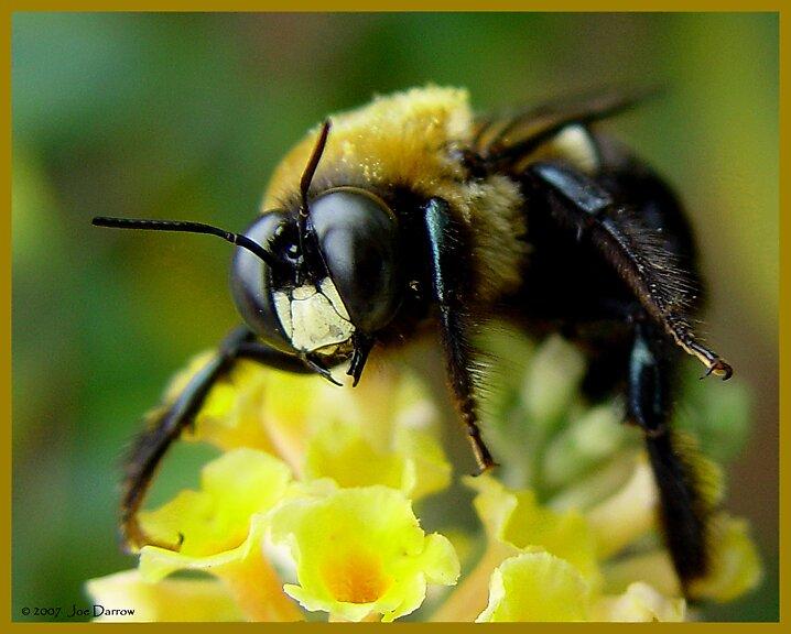 Bee by Joe Darrow