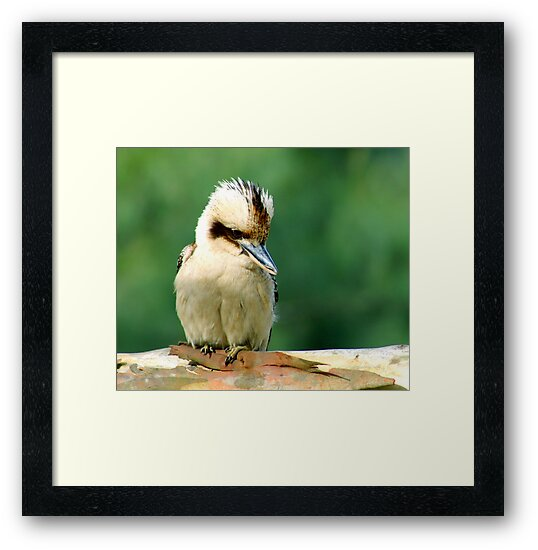 Kookaburra 1 by David Mapletoft