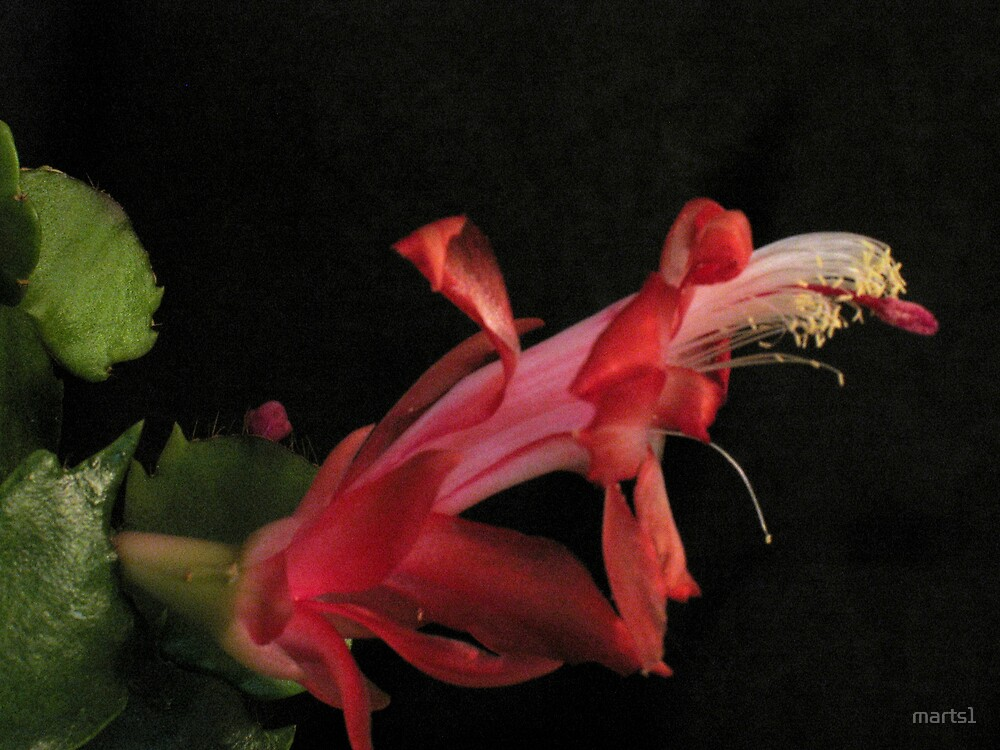 Christmas Cactus by marts1