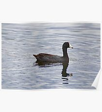 American Coot Reflecting Poster