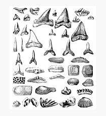 Haifischzähne und Muscheln Fossilien Archäologie & Naturgeschichte Fotodruck
