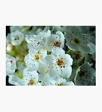Flowering Pear Photographic Print