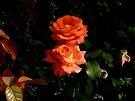 Roses by Vasile Stan
