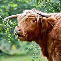 Highland Cow by John Thurgood