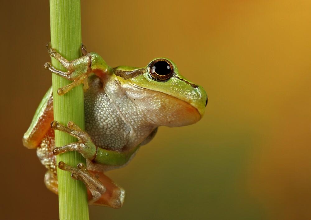 go-go frog I by blepharopsis