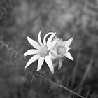 Native Flannel Flower by Clare Colins