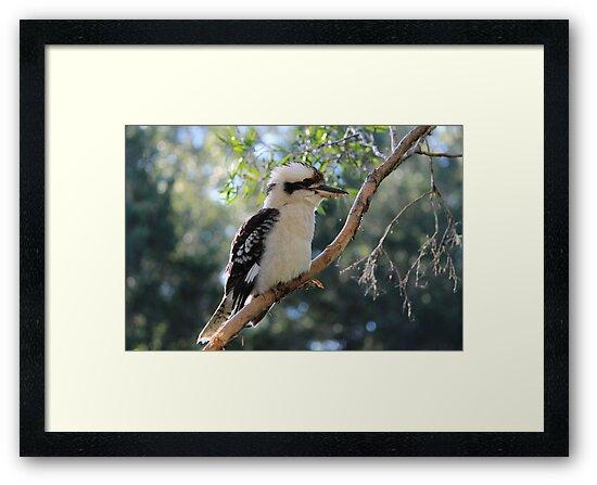 kookaburra by Jeannine de Wet