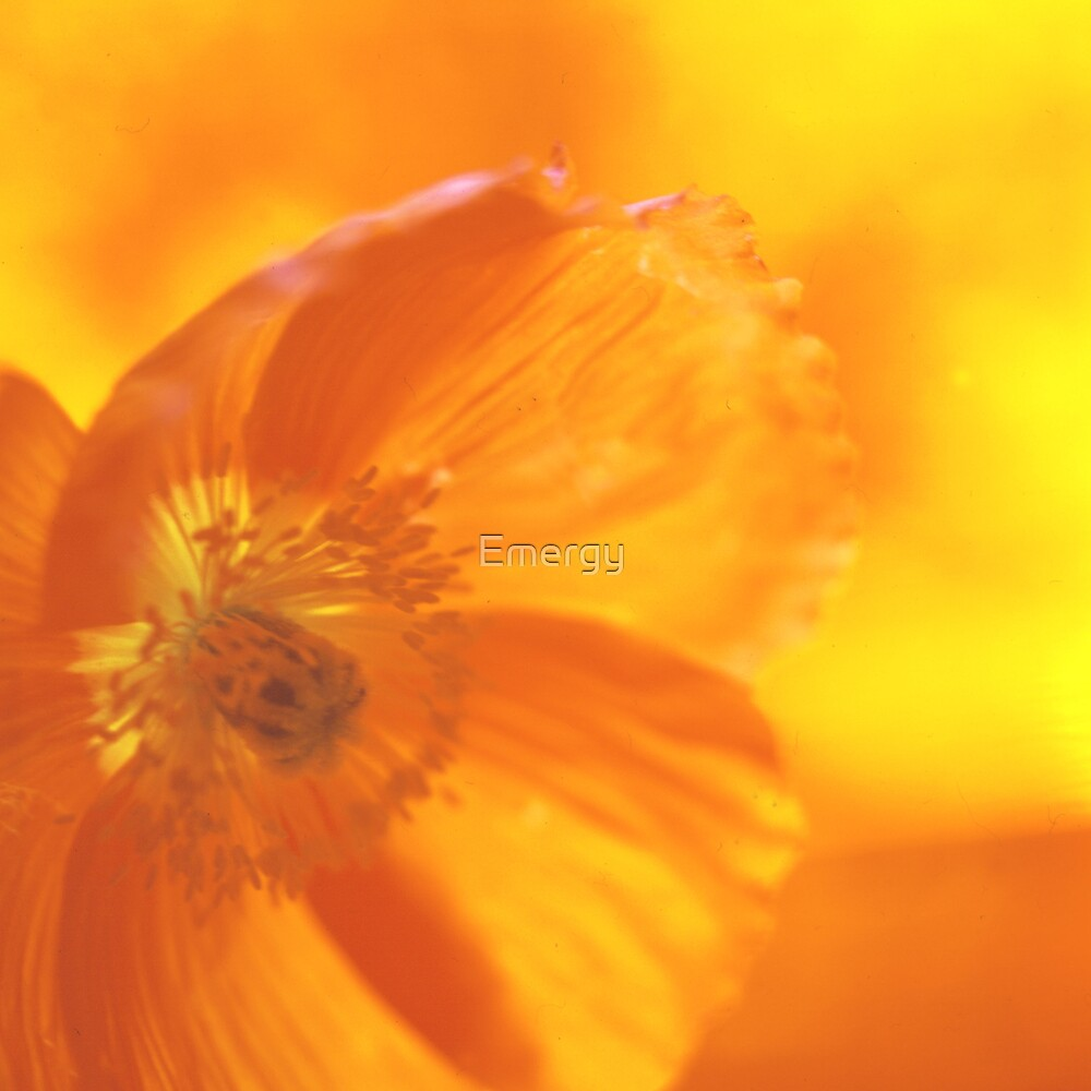 Rainbow flowers Orange yellow poppy 05 by Emergy