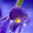 Rainbow flowers Blue Iris 13 by Emergy