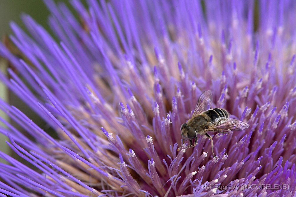 Cardoon Flower and Bee by Neil Bygrave (NATURELENS)