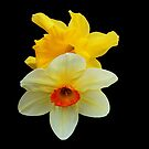 Daffodil and Narcissus on Black Background by BlueMoonRose