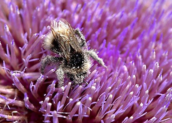 Pollen Bee by Neil Bygrave (NATURELENS)
