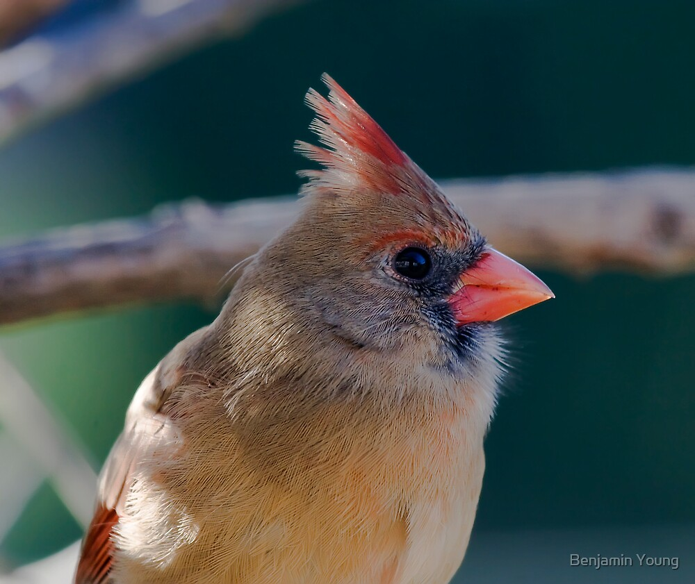 Female Northern Cardinal by Benjamin Young