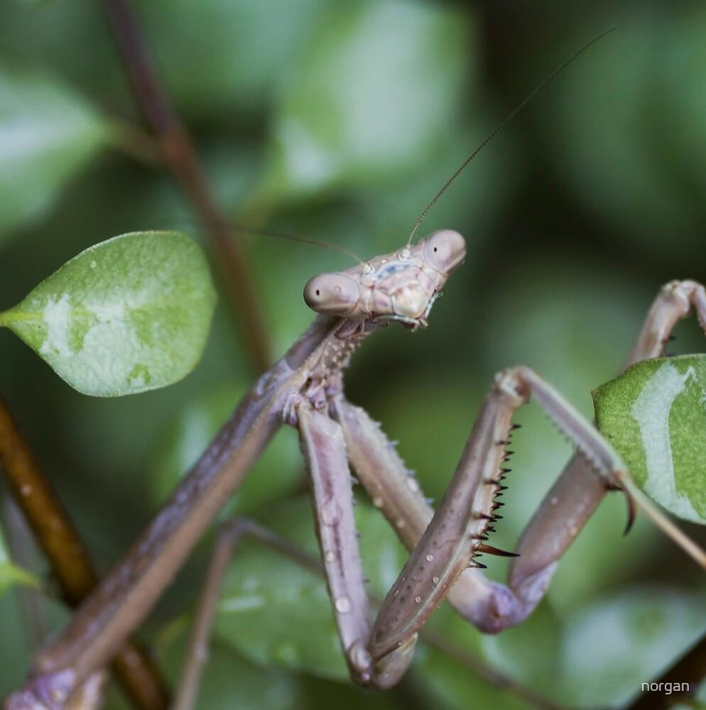 Mantis by norgan
