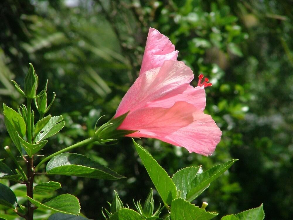 Hibiscus 1 by Ferguson