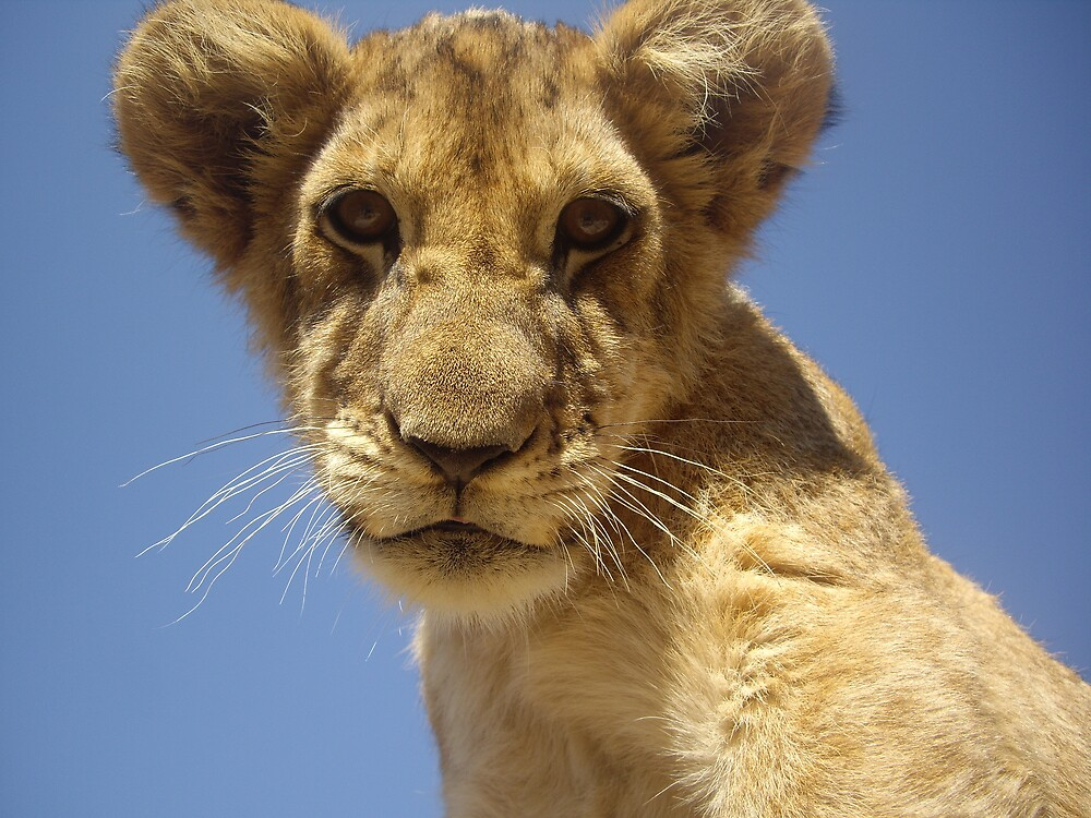 Lion cub by Kellwalton