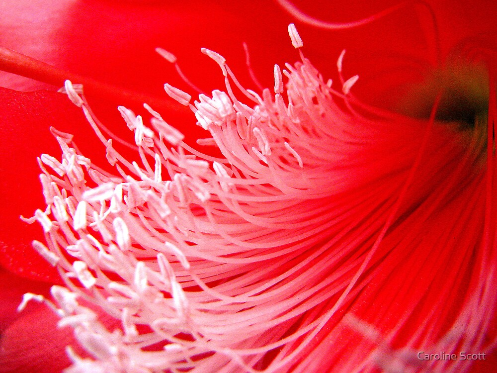 Red Orchid Cactus by Caroline Scott