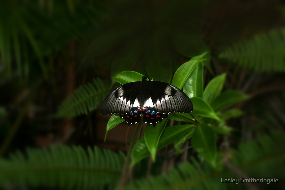 Orchard Swallowtail among the ferns by Lesley Smitheringale