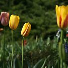Tulips by andytan