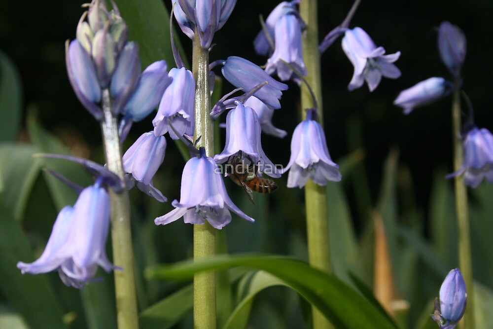 Busy as a Bluebell Bee by andytan