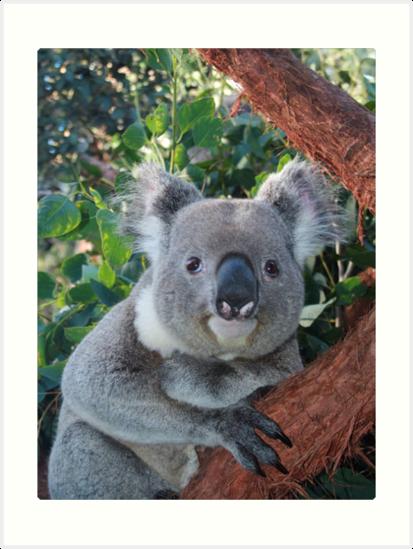 Koala Bear  by Suzy  Baines