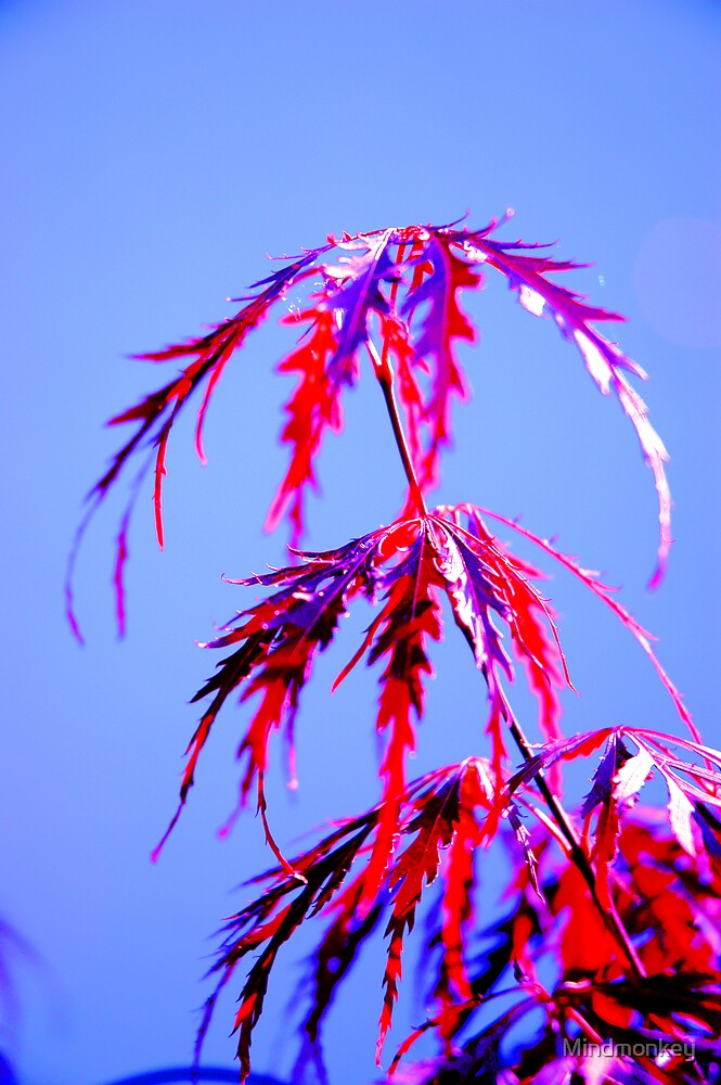 Acer by Mindmonkey