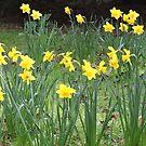Daffodil Ring by CreativeEm