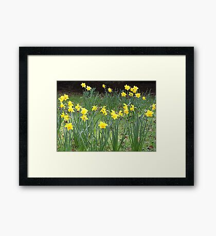 Daffodil Ring Framed Print