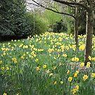 Daffodil Pathway by CreativeEm