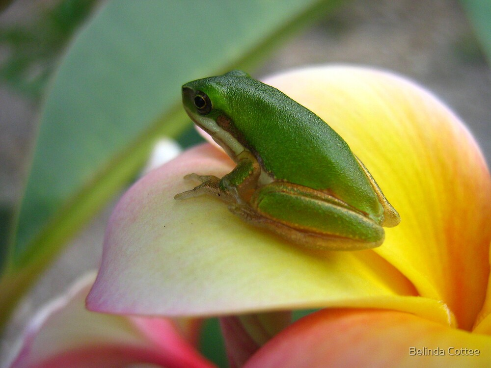 frog on frangie by Belinda Cottee