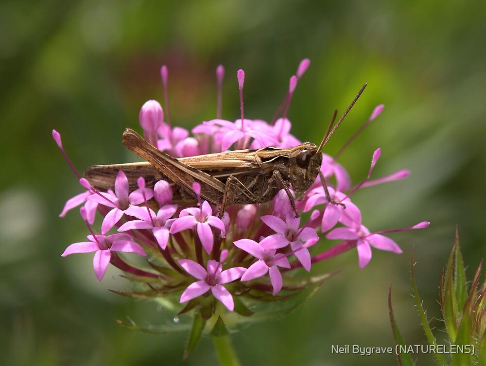 Grasshopper by Neil Bygrave (NATURELENS)