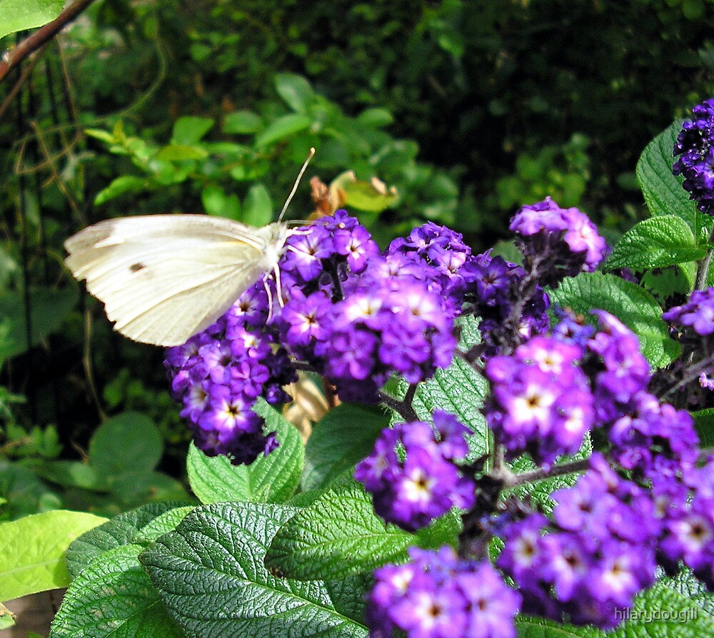 Butterfly on the Heliotrope by hilarydougill