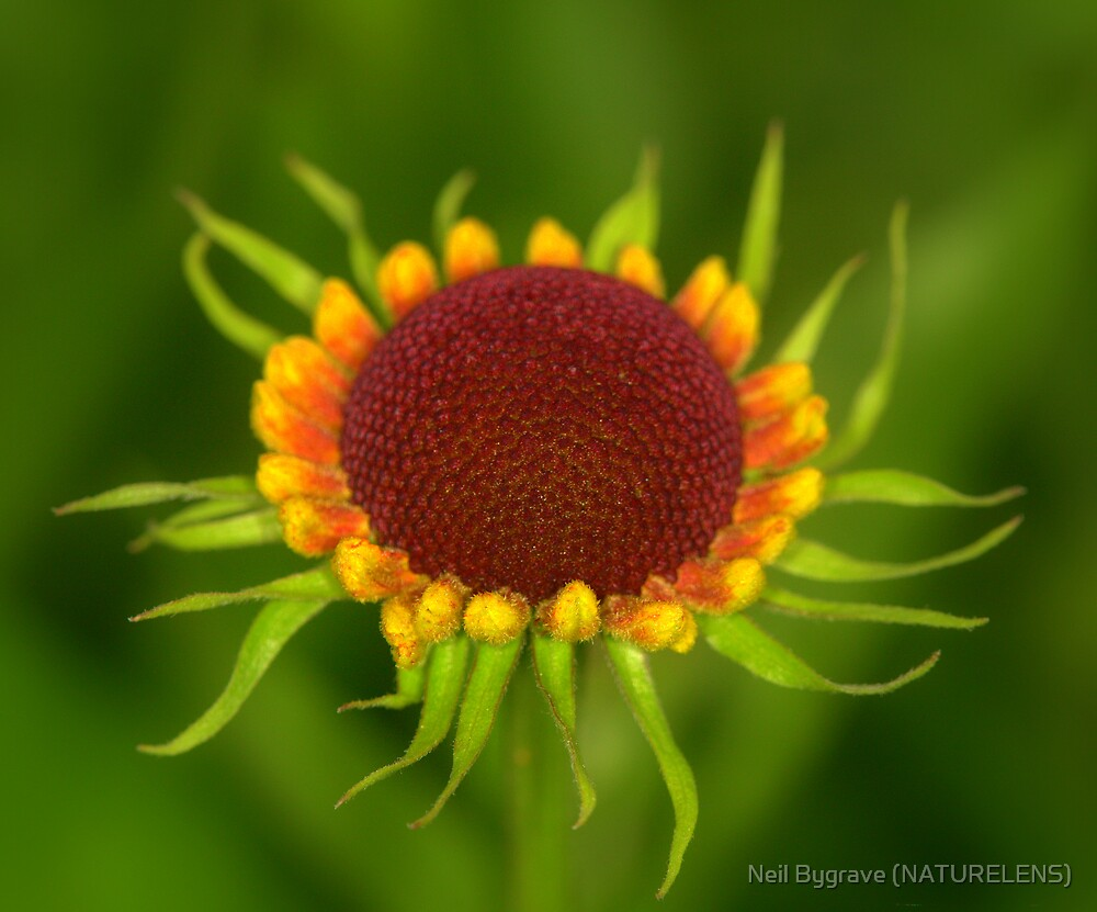 Helenium by Neil Bygrave (NATURELENS)