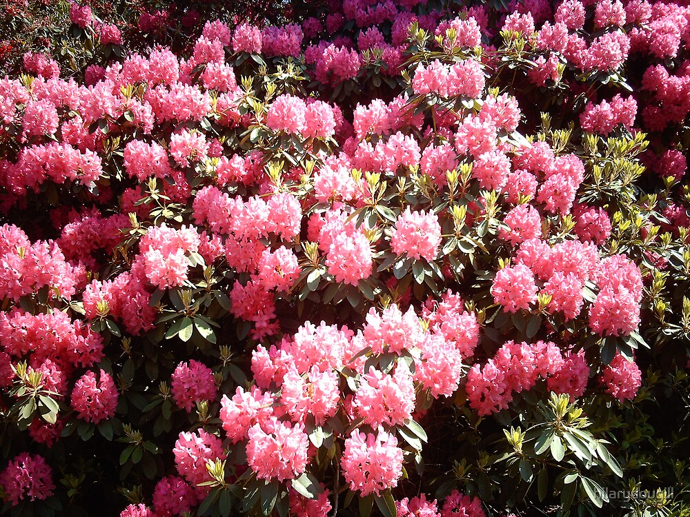 Rhodedendrons by hilarydougill