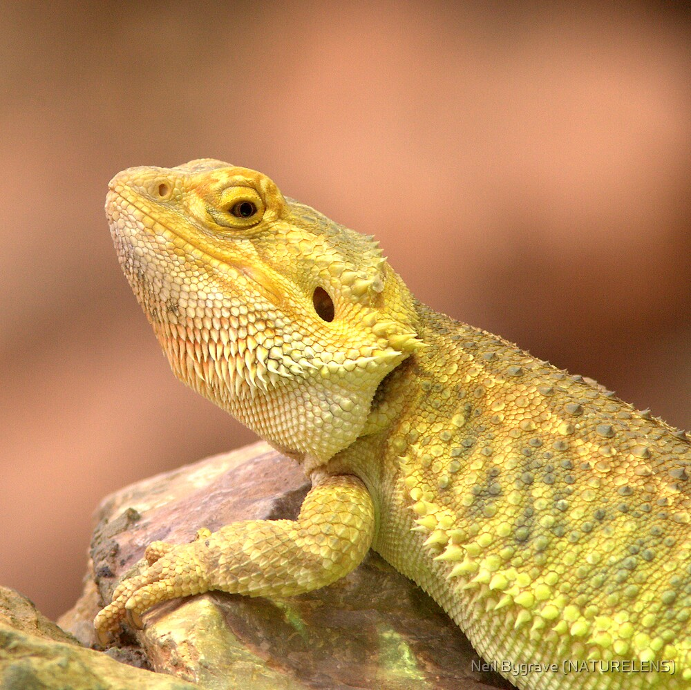 Dragon Lizard by Neil Bygrave (NATURELENS)