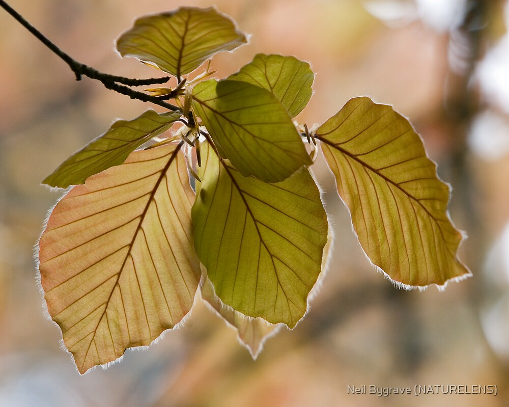 Young Copper Beech Leaves by Neil Bygrave (NATURELENS)