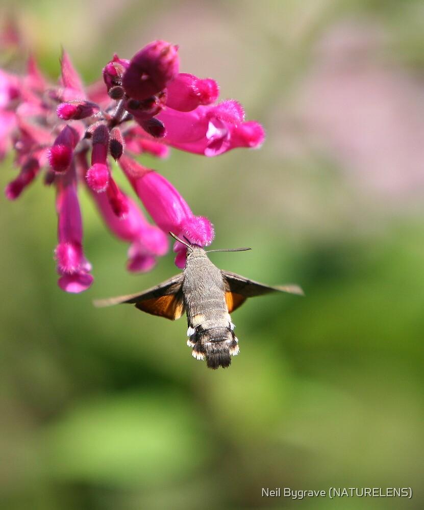Humming Bird Moth by Neil Bygrave (NATURELENS)