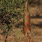 Gerenuk by Steve Bulford