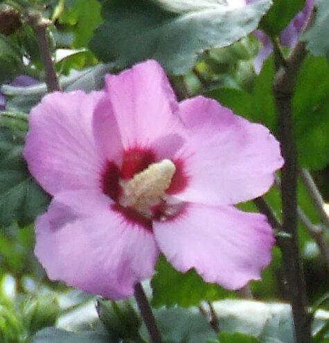 Hibiscus by dazeddahlia