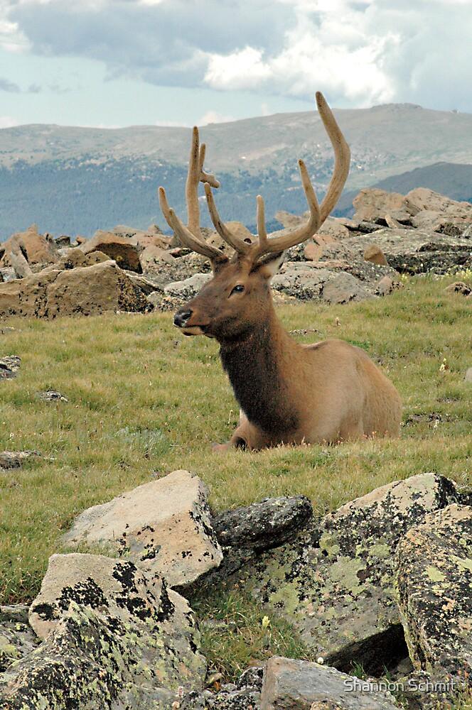 Elk at Rest by Shannon Schmit