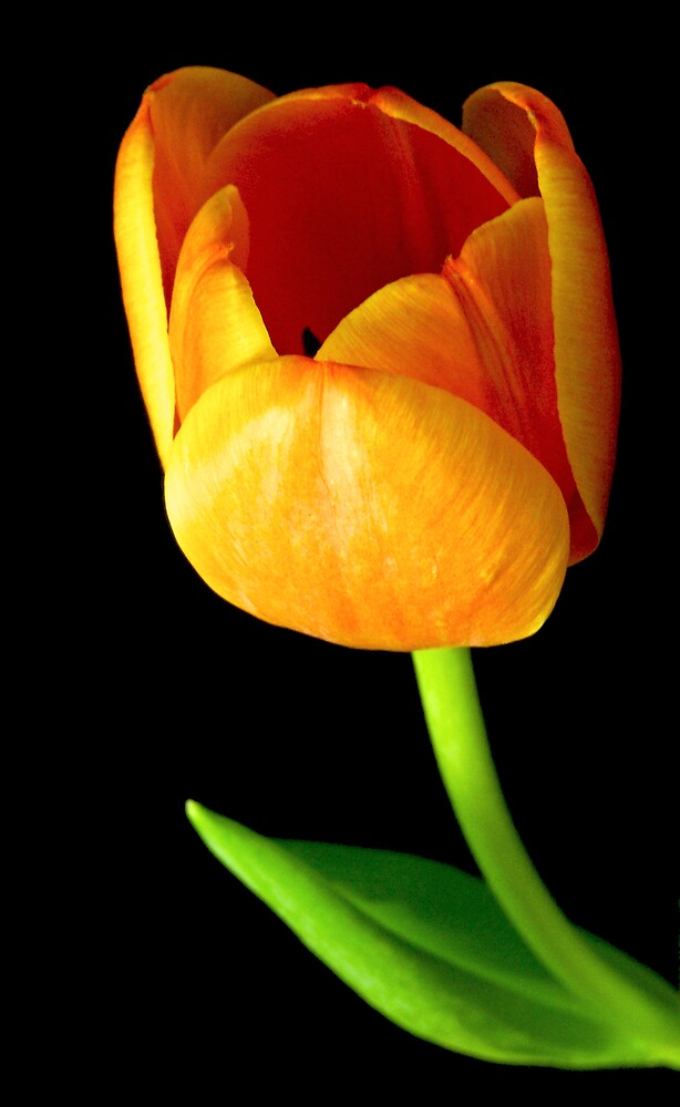 Tulip Opening by Swede