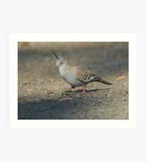 Crested Pigeon Art Print