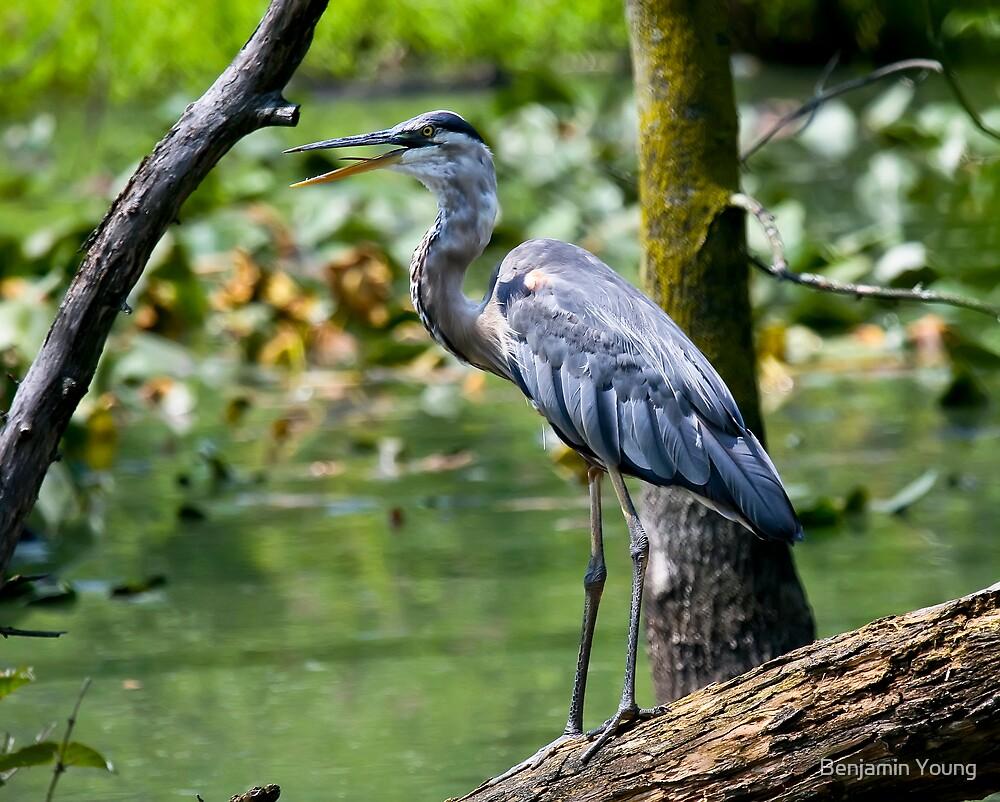 Blue Heron by Benjamin Young
